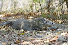 El dragón de Komodo Fotos de archivo
