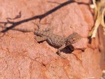 El dragón neto central, nuchalis de Ctenophorus en Trephina Gorge, MacDonnell del este se extiende fotografía de archivo