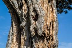 El Drago著名draceana树 免版税图库摄影
