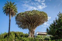El Drago 1000 years old draceana tree Royalty Free Stock Images