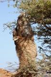 El dromedario (camello) come de un árbol del acacia. Fotos de archivo libres de regalías