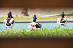 El Ducking alrededor imagen de archivo libre de regalías