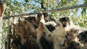 El dueño da a sus perros preferidos rebanadas deliciosas de comida Los perros en la jaula están saltando arriba y están alcanzand almacen de video