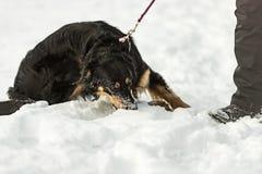 El dueño está caminando con su perro de montaña bernese El perro tira y rechaza en un correo fotografía de archivo