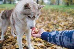 El dueño está dando su manzana del perro Se choca y se sorprende el perro foto de archivo