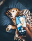 El dueño toma la foto de su perro del beagle que duerme en cama y rompe h imágenes de archivo libres de regalías