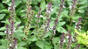 El dulce, basilicum de Basil Thai Basil Ocimum florece la floración en los árboles en el jardín almacen de video