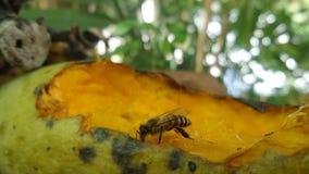El dulce madura interés de la abeja del attrack del mango Foto de archivo libre de regalías