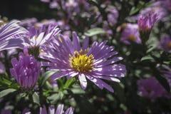 El dumosum floreciente Rosenwichte de Symphyotrichum del aster en foco suave fotos de archivo libres de regalías