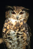 El Eagle-búho de Mackinder Fotos de archivo