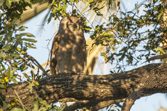 El Eagle-búho de Verraux salvaje Imagen de archivo
