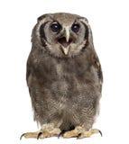 El eagle-búho de Verreaux - lacteus del bubón imagen de archivo