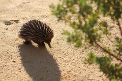El Echidna en el sol de la tarde encontró en los pináculos abandona, Australia occidental Imagen de archivo