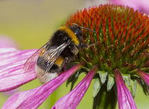 El echinacea decorativo hermoso florece con el abejorro, floral Imagen de archivo libre de regalías