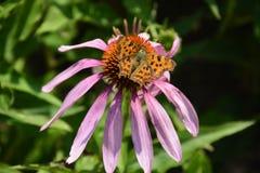 El echinacea que florece con la mariposa en el top fotografía de archivo libre de regalías