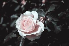 El efecto elegante del infrarrojo de Rosa Fotografía de archivo libre de regalías