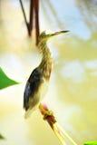 El Egret en nadó Fotografía de archivo libre de regalías
