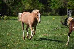 El ejecutarse de dos caballos fotografía de archivo libre de regalías