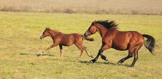El ejecutarse de los caballos Fotografía de archivo libre de regalías