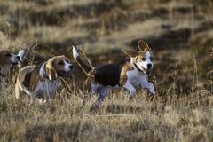 El ejecutarse de los perros del beagle. Fotos de archivo
