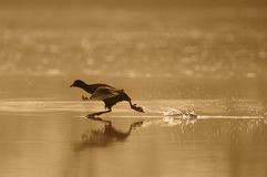 El ejecutarse sobre el agua Fotografía de archivo libre de regalías