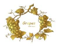 El ejemplo del grabado del vintage del dibujo de la mano del marco de las uvas con va ilustración del vector
