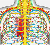 El ejemplo médicamente exacto del vector del pecho de la parte posterior del ser humano, incluye el sistema nervioso, las venas,  Foto de archivo libre de regalías