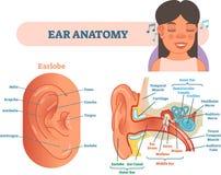 El ejemplo médico del vector de la anatomía del oído con el corte transversal del oido externo, medio e interno diagrams libre illustration