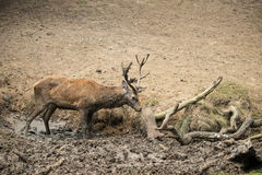 El elaphus del cervus del macho de los ciervos comunes toma un mudbath para refrescarse abajo en Aut Fotos de archivo