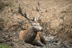 El elaphus del cervus del macho de los ciervos comunes toma un mudbath para refrescarse abajo en Aut Fotografía de archivo libre de regalías
