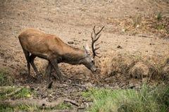 El elaphus del cervus del macho de los ciervos comunes toma un mudbath para refrescarse abajo en Aut Foto de archivo libre de regalías
