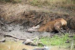 El elaphus del cervus del macho de los ciervos comunes toma un mudbath para refrescarse abajo en Aut Foto de archivo