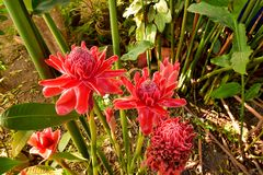 El elatior rojo de Etlingera del jengibre de la antorcha de las flores en el jardín fotografía de archivo libre de regalías