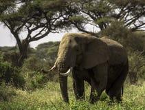 El elefante Fotos de archivo libres de regalías