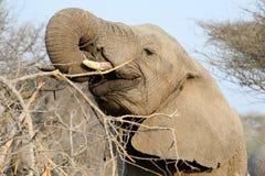 El elefante africano adulto come ramas Foto de archivo