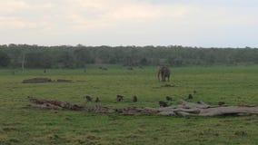El elefante africano camina en la lluvia en el llano verde donde pastando animales almacen de video