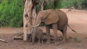 El elefante africano con el bebé en el árbol secado come la corteza y las hojas metrajes