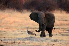 El elefante africano del arbusto persigue lejos la avutarda del kori Foto de archivo