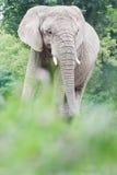 El elefante africano o el africana del Loxodonta que descansa adentro relaja actitud durante verano Imágenes de archivo libres de regalías