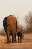 El elefante africano y su el becerro que despiertan en el camino de la grava en madrugada en Kruger parquean Fotos de archivo