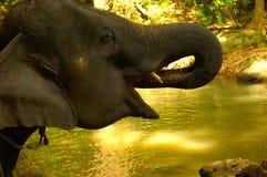 El elefante arroja a chorros el agua en la boca para una bebida. foto de archivo