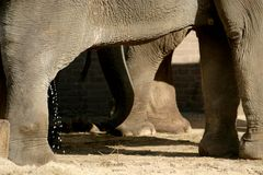El elefante asiático (patas) Imagen de archivo