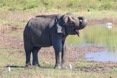 El elefante asiático se está bañando en fango en el parque nacional de Uda Walawe, senior Fotografía de archivo libre de regalías