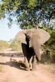El elefante Bull adentro debe Imagen de archivo