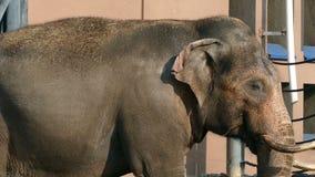El elefante come la hierba en el sol metrajes