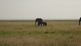 El elefante con el bebé en el llano y el papá viene a ellos almacen de video