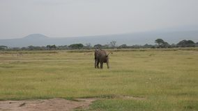 El elefante de Bull loco del varón furiosamente corre alrededor de pasto en un estado emocionado metrajes