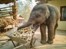 el elefante del bebé goza el comer foto de archivo