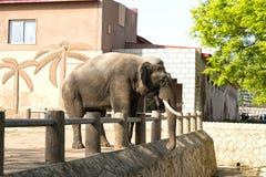 El elefante en el parque zoológico de la central de Corea Pyongyang, DPRK - Corea del Norte  Foto de archivo