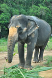 El elefante femenino Imagen de archivo libre de regalías